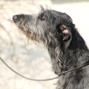Scottish Deerhounds, Deerhound